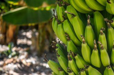 زراعة الموز في المنزل